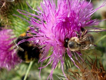 FOTKA - 23.8. - 10 - včelička a čmeláček na bodláčí