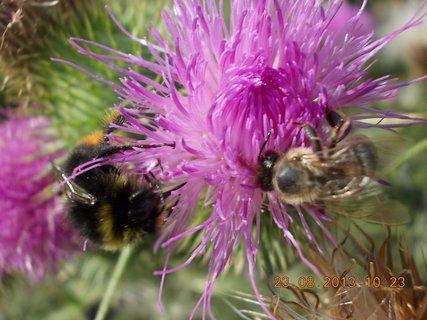 FOTKA - 23.8. - 11 - včelička a čmeláček na bodláčí