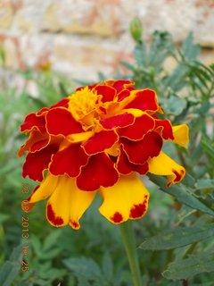 FOTKA - 23.8. - 13 - dvoubarevný květ