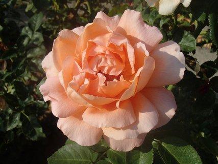 FOTKA - jemne sfarbená ruža