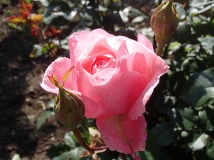 FOTKA - ružička zo včera