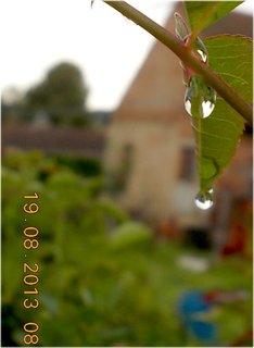 FOTKA - 19.8. - 2 - po dešti -  kapičky se drží