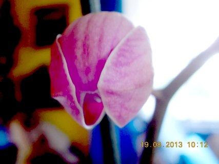 FOTKA - 19.8. - 12 - brzy pokvete orchidejka