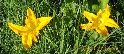 FOTKA - 19-21.8. - 9 - květy dýně na zemi
