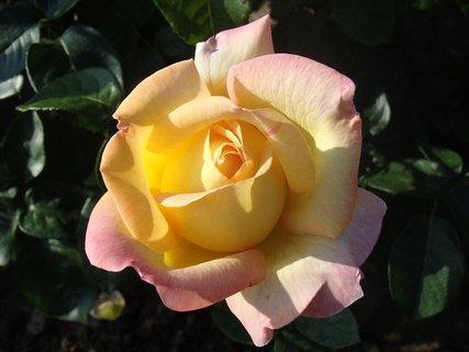 FOTKA - 26.08.2013 ruža pre dnešný deň