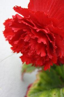 FOTKA - begonie-
