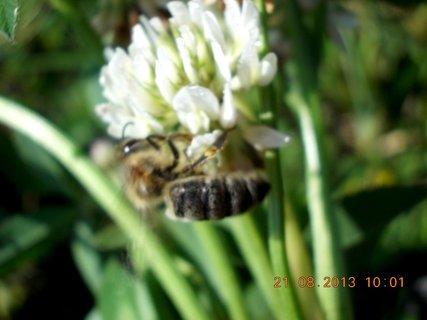 FOTKA - 21.8. - 5 - včelička na jetelíčku