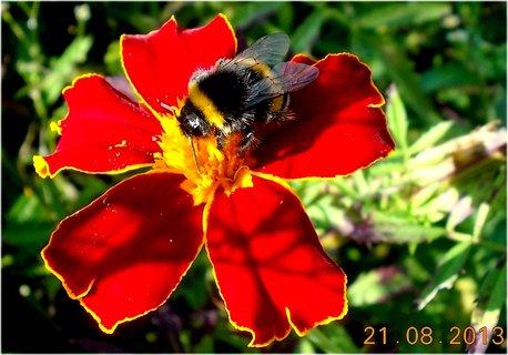 FOTKA - 21.8. - 9 - čmelda na květu Afrikánu