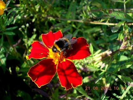 FOTKA - 21.8. - 10 - čmelda na květu Afrikánu