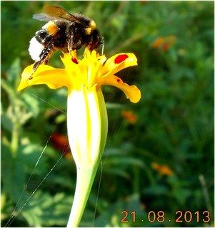 FOTKA - 21.8. - 11 - čmelda na květu Afrikánu