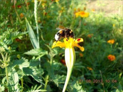 FOTKA - 21.8. - 12 - čmelda na květu Afrikánu