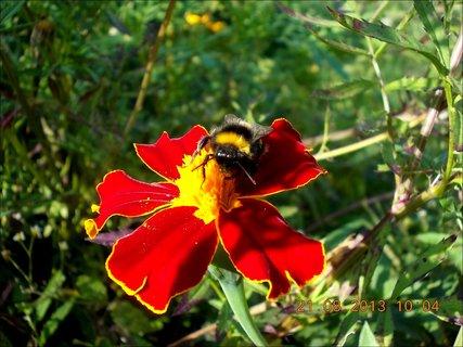 FOTKA - 21.8. - 15 - čmelda na květu Afrikánu