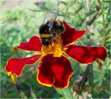 FOTKA - 21.8. - 16 - čmelda na květu Afrikánu
