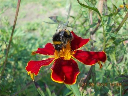 FOTKA - 21.8. - 17 - čmelda na květu Afrikánu