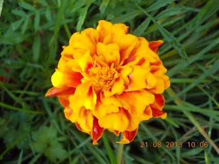 FOTKA - 21.8. - 21 - květ Afrikánu