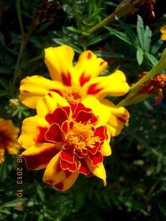 FOTKA - 21.8. - 24 - květy Afrikánu