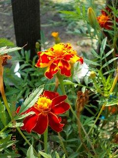 FOTKA - 21.8. - 25 - květy Afrikánu