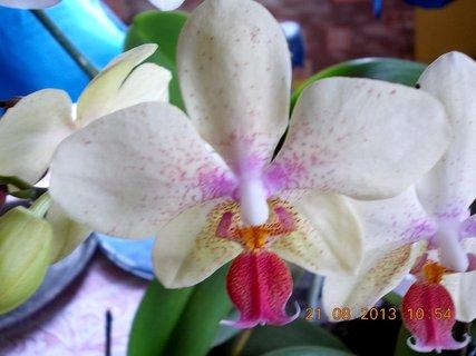 FOTKA - 21.srpen - 17 - orchidejky