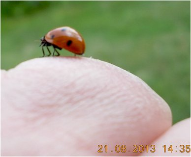 FOTKA - 21.srpen - 19 - beruška na mé ruce