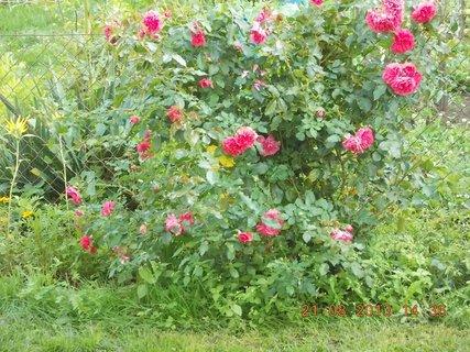 FOTKA - 21.srpen - 21 - asi poslední letošní květy