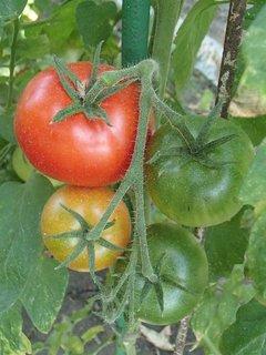 FOTKA - tri farby paradajok