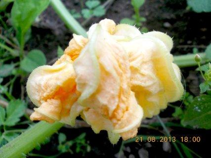 FOTKA - 22.+21.8. - 6 - květ na dýni planý, ale je krásný