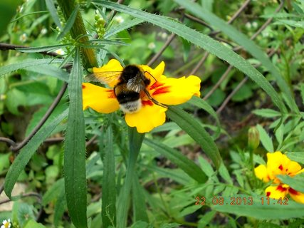 FOTKA - 22.+21.8. - 16 - čmelda na květu
