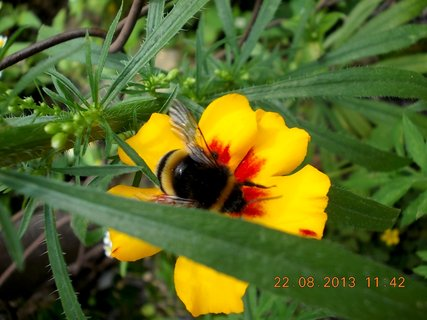 FOTKA - 22.+21.8. - 17 - čmelda na květu