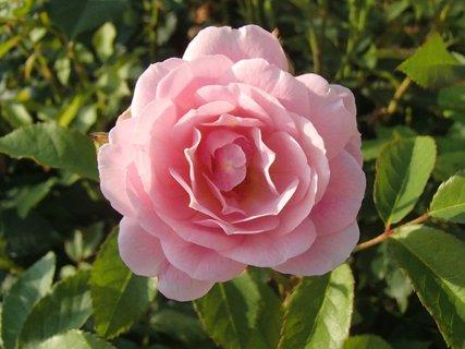 FOTKA - 25.08.2013 ružová ruža