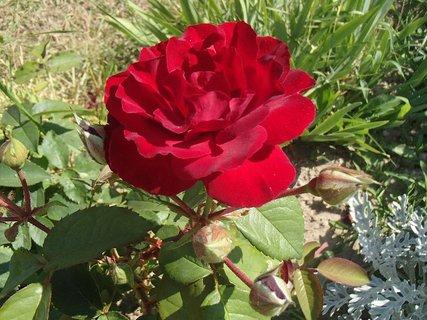 FOTKA - ruža v záhone