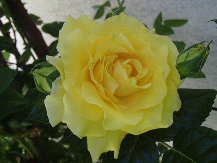 FOTKA - 25.08.2013 žltá ruža