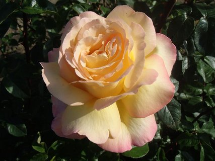 FOTKA - ruža pre chytré ženy
