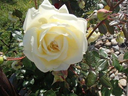 FOTKA - smotanová ružička