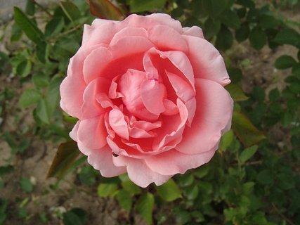 FOTKA - ružová aj s malým chrobáčikom