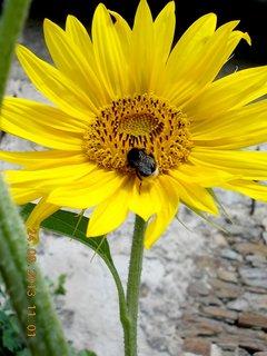 FOTKA - 24 - 25.8. - 4 - slunečnice