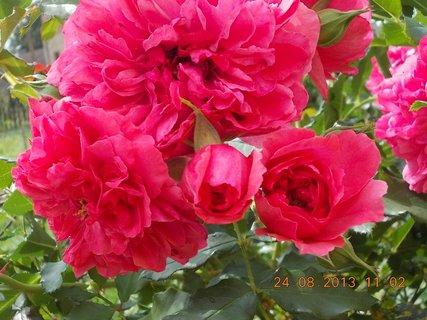 FOTKA - 24 - 25.8. - 6 - růže s poupětem