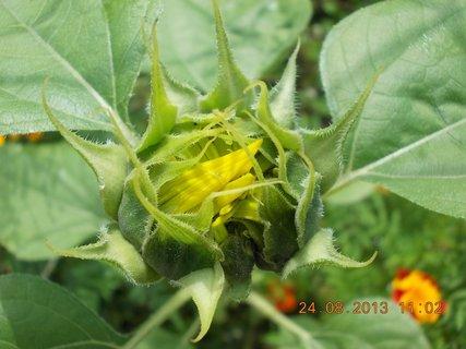FOTKA - 24 - 25.8. - 8 - poupě slunečnice
