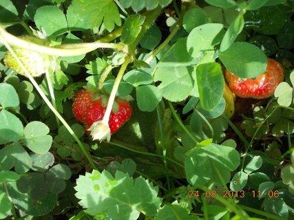 FOTKA - 24 - 25.8. - 14 - jahody ještě budou
