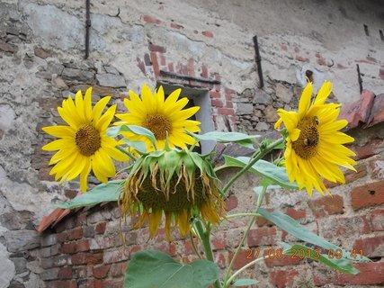 FOTKA - 25+26+27.8. - 1 - poslední velký slunečnice