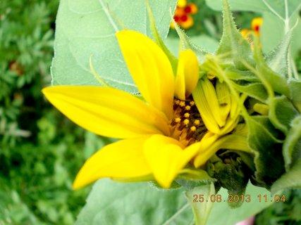 FOTKA - 25+26+27.8. - 2 - malá slunečnice
