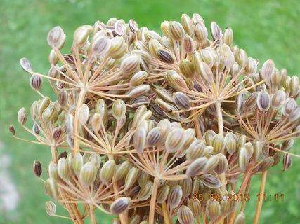 FOTKA - 25+26+27.8. - 10 - semena kopru