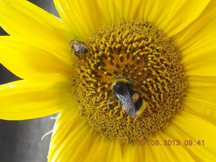 FOTKA - 25+26+27.8. - 19 - včelky na slunečnici