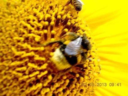 FOTKA - 25+26+27.8. - 20 -  na slunečnici je obsazeno