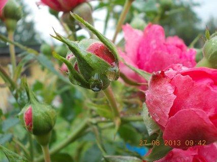 FOTKA - 25+26+27.8. - 23 -  růže