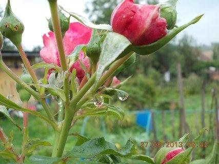 FOTKA - 25+26+27.8. - 24 -  růže