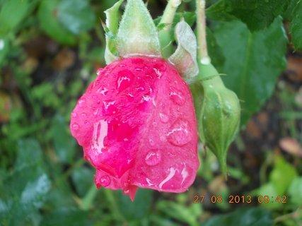 FOTKA - 25+26+27.8. - 25 -  růže po dešti