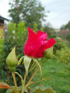 FOTKA - 25+26+27.8. - 26 -  růže po dešti