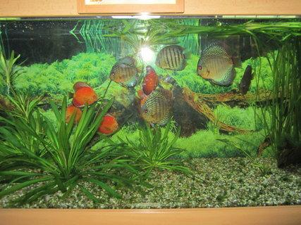 FOTKA - Terčovec červený a Skalára amazonská