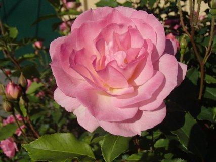FOTKA - ružička zo včerajška