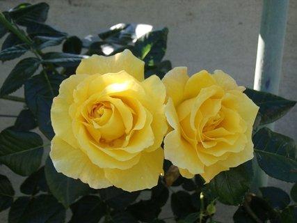 FOTKA - dve žlté ružičky pri sebe